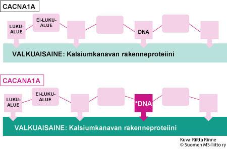 ACNA1A-geeni sijaitsee kromosomissa 19. EA2-oireiston aiheuttavat useat erilaiset mutaatiot CACNA1A-geenissä.