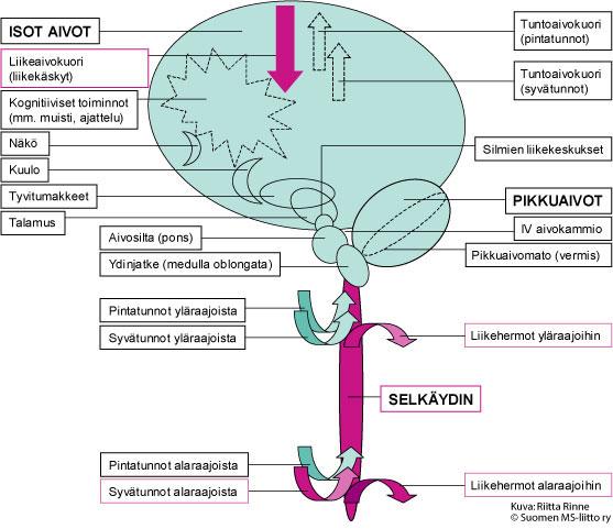 Yksioireisessa HSP-sairaudessa vaurioituvat aivojen liikekeskuksista lähtevät liikehermoradat. Sairauden aiheuttamat merkittävimmät muutokset todetaan molemmissa alaraajoissa.