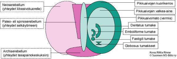 Pikkuaivojen rakenne. Oikealla on pikkuaivojen kehitysopilliset alueet ja vasemmalla pikkuaivojen liikesäätelyyn osallistuvat rakenteet.