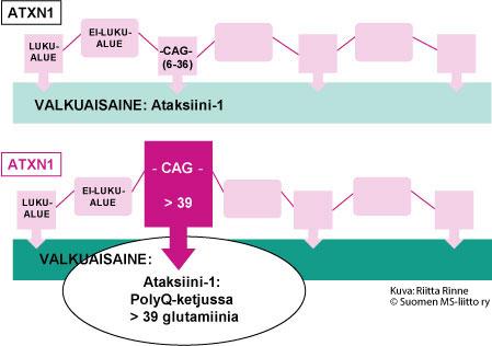 SCA1-sairaudessa geenivirhe aiheuttaa Ataksiinii-1 valkuaisaineeseen ylipitkän PolyQ-ketjun syntymisen.