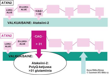 """alt=""""CAG > 31, Ataksiini-2: PolyQ-ketjussa > 31 glutamaania."""""""