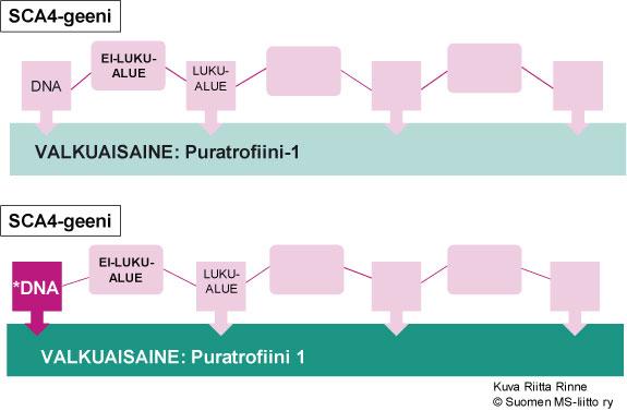 Japanilaisilla SCA4-suvuilla on todettu geenimutaatio Puratrofiini-1 valkuaisainetta ohjaavassa geenissä kromosomissa 16q22.1.