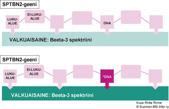 CA5-sairauden aiheuttaa SPTBN2-geenin mutaatio kromosomissa 11q13.