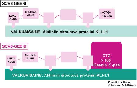 SCA8-geeni ohjaa Aktiiniin-sitoutuvan valkuaisaineen syntymistä. Proteiini on nimetty Kelch-like1-proteiiniksi (KLHL1). KLHL1 proteiinia on hermosoluissa, erityisesti keskushermostossa.