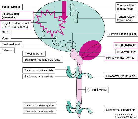 SCA8-sairaudessa todetaan pikkuaivovaurioon sopiva kliininen oireisto. Vaihtelevasti todetaan ylemmän liikehermon vaurioita sekä kognitiivisia muutoksia.