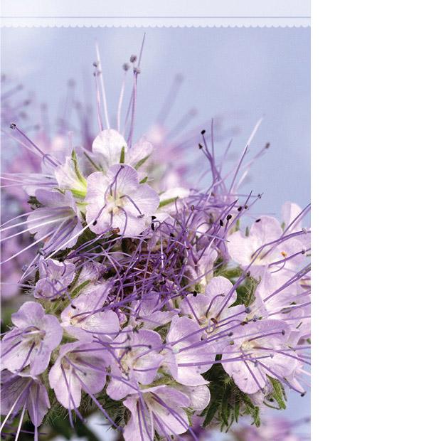 Kannessa vaaleansinisellä taustalla kimppu vaaleanliiloja hunajakukkia.