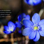 Aukeamalla sinivuokkoja ja teksti Tunnet lämmön lähelläsi, käteen tarttuu enkelin käsi. Tänne jääneet miettivät: Nytkö jo alkaa uusi kevät!