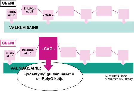 Polyglutamiiniataksioissa on valkuaisaineessa poikkeava, pitkä glutamiini-aminohappojen muodostama ketju (PolyQ-ketju).