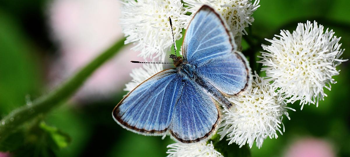 Sininen perhonen kukassa
